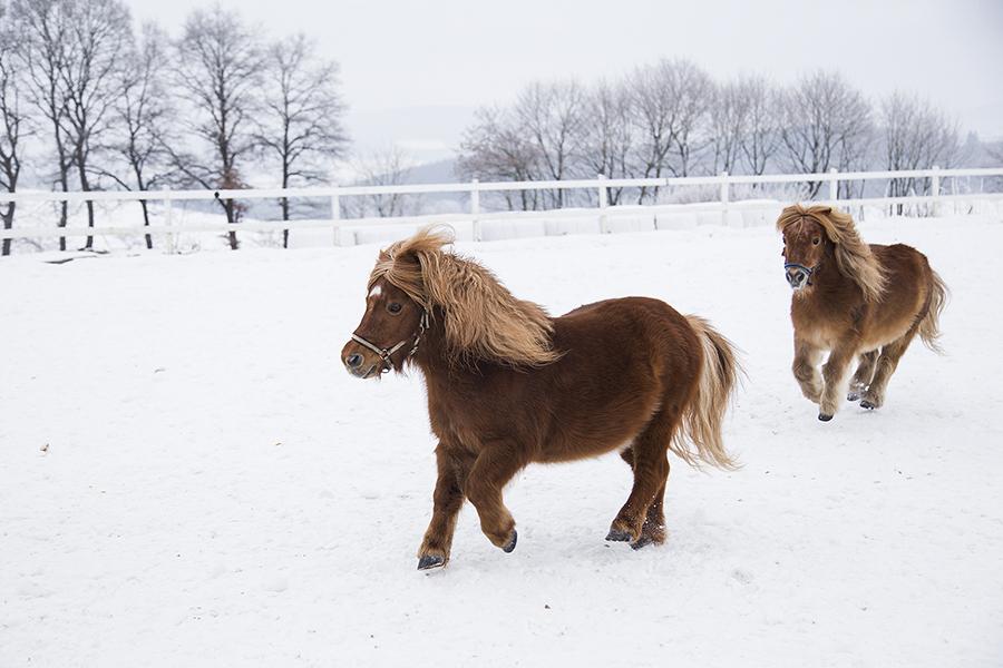 Ponys auf dem Reitplatz im Schnee