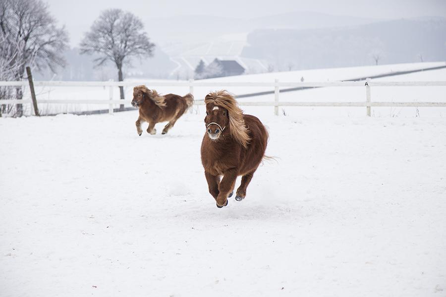 Ponys im Schnne