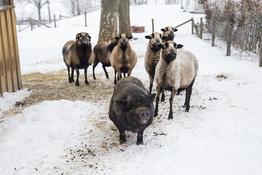 Schafe und Schwein im Schnee